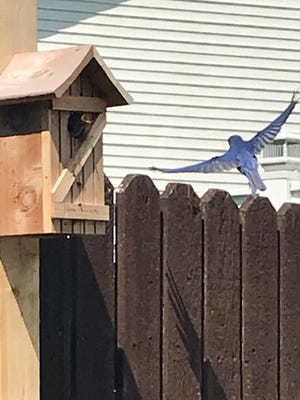 Amber Ricker of New Philadelphia snapped a shot of a bluebird in flight while a baby in the birdhouse waits for a meal. Have you taken a nature photo you'd like to share with our readers? Send a .jpg image to hank.keathley@TimesReporter.com. Make sure you include information on who took the photo and where it was taken for caption information.