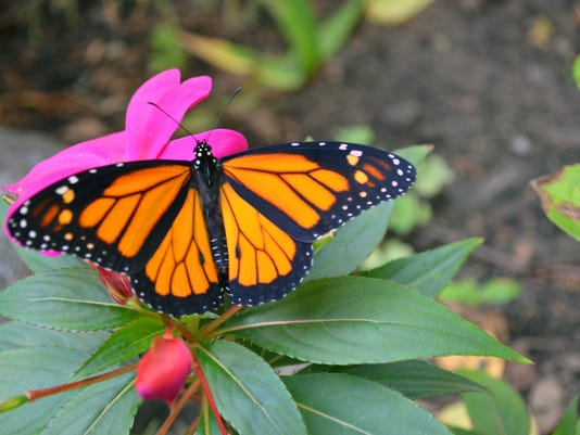 635779314536345245-monarch-butterfly