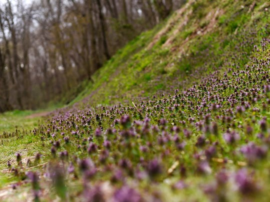 Purple flowers grow up a bank on the side of the path at Shenk's Ferry Wildflower Preserve in Lancaster County, not far from the Susquehanna River. The best advice: stay on the path for this hike so you don't disturb the flowers.
