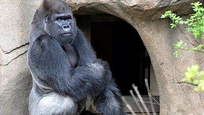 Mshindi, the Cincinnati Zoo and Botanical Garden's new silverback gorilla.