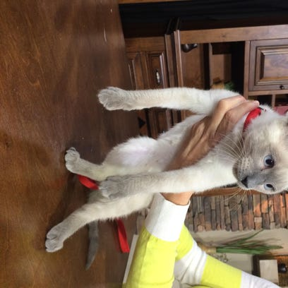 Hampton is a 4-month-old lynx-point Siamese cat looking