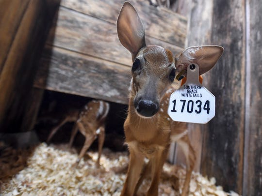 A fawn in the Southern Grace Whitetails booth at the Buckmasters Expo in Montgomery, Alabama, in 2017.