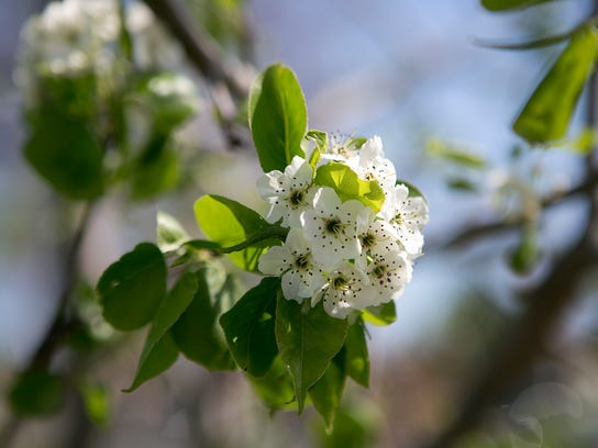 Pear blossoms beautify a tree that was planted on Northpoint
