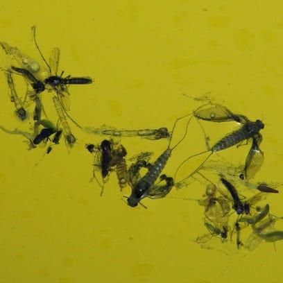 Dead mosquios