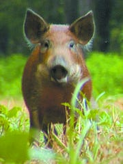 An LSU AgCenter meeting about feral swine is set for 1 to 3 p.m. May 31 at the AgCenter Dean Lee Research and Extension Center DeWitt Livestock Facility on U.S. Highway 71 south of the LSUA campus.