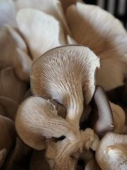 Oyster mushrooms are part of the CSA boxes at the Red