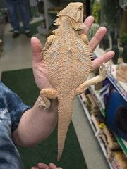 A citrus bearded dragon at Stingers Exotics in Livonia. Shop owners say several lizards, including bearded dragons, were recovered after a break-in took place last month.