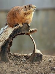 A Black-Tailed Prairie Dog checks out its visitors