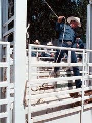 Steve Coleman prepares to send another cowboy and animal out into competition at the St. Paul Rodeo in 1997.