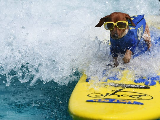The World Dog Expo in Secaucus on Saturday June 10, 2017. Coppertone, a three year old miniature dachshund, who was a rescue puppy, surfs as part of the Lucy Pet Surfing Team.