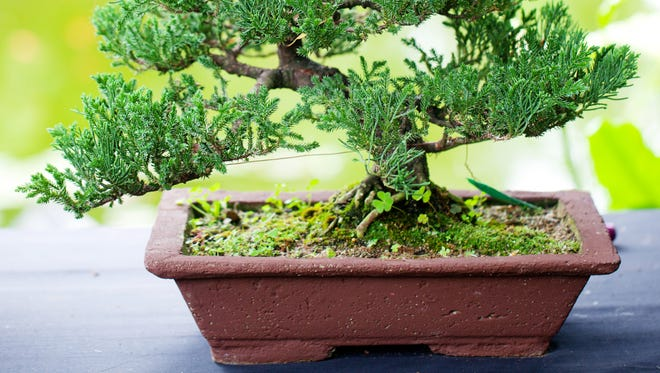From noon to 4 p.m. on Sept. 11, Deep Cut Gardens and the Deep Cut Bonsai Society will present Bonsai Day.