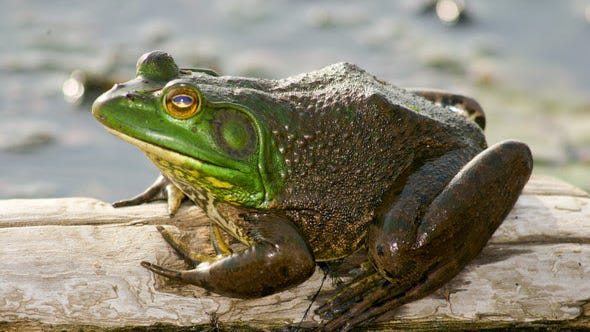 Frogging season begins June 30 at sunset and runs through Oct. 31. Bullfrogs (pictured) and green frogs are legal game for those with valid permits, though children 15 and younger and adults 65-years and older are not required to have a permit.