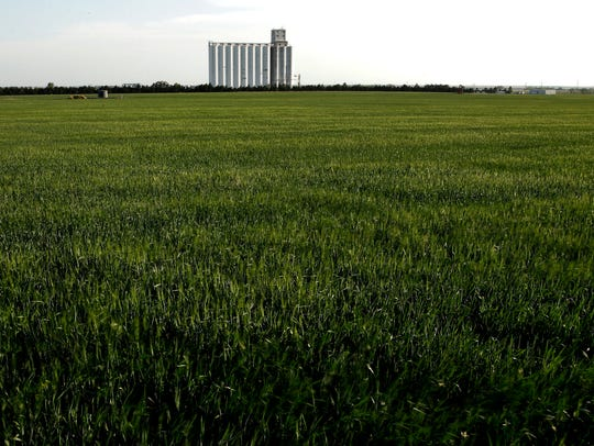 A field of winter wheat stands as a grain elevator