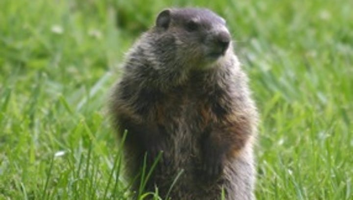Answer Man: Do groundhogs have a death wish? Why do they get so close to roads?