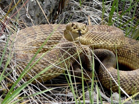 636383162086760515-prairie-rattlesnake-fwp.jpg