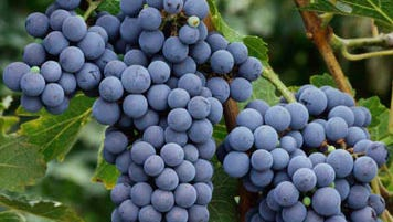 Washington State's climate produces the intense grapes used in Wines of Substance Cabernet Sauvignon.