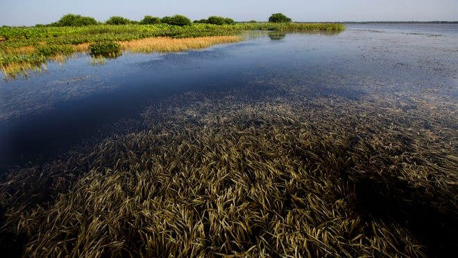 fresh water grasses have been restored on Lake Trafford in Immokalee. The grasses are great habitat for fresh water fish including bass and crappie. The lake has rebounded with those fish.