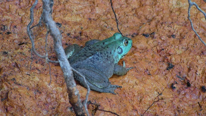 Jim Wiegand of Redding snapped this photo of a rare blue-green bullfrog at Lake Shasta.