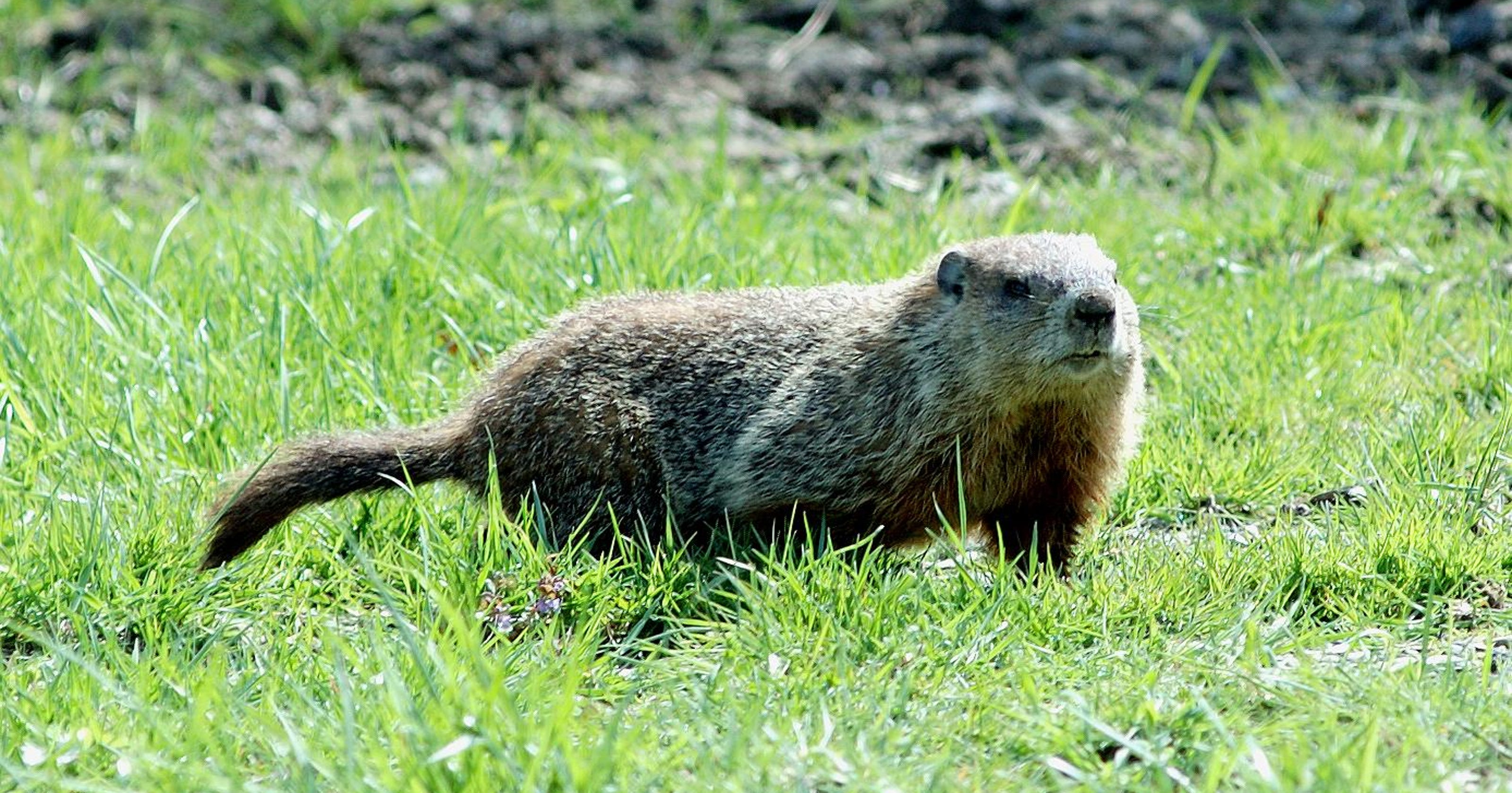 Species Spotlight: Woodchuck/Groundhogs