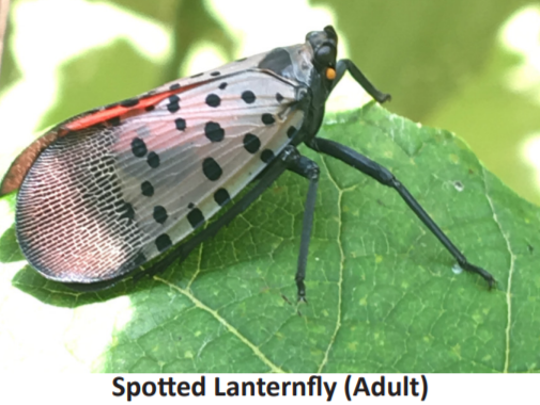 The invasive Spotted Lanternfly can cause tremendous damage to certain crops and woods.