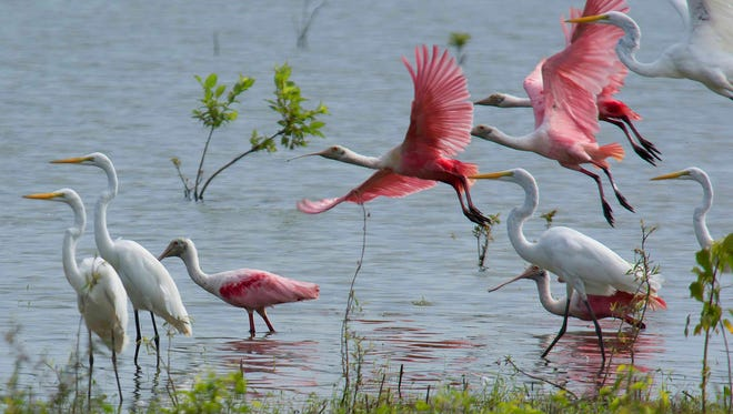 Roseate spoonbills are a common sight at St. Ctherines National Wildlife Refuge right now.