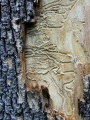 Tunnels made by the larvae of an emerald ash borer