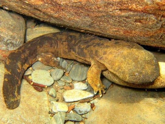 The Eastern Hellbender is the largest salamander in