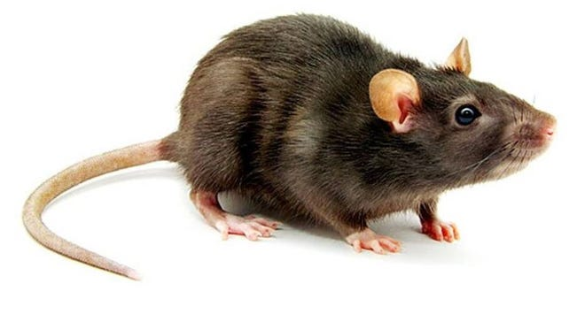 Rats with hantavirus will appear healthy. People can get hantavirus infections from having contact with, or being in close proximity to infected rodents, or their urine and droppings.