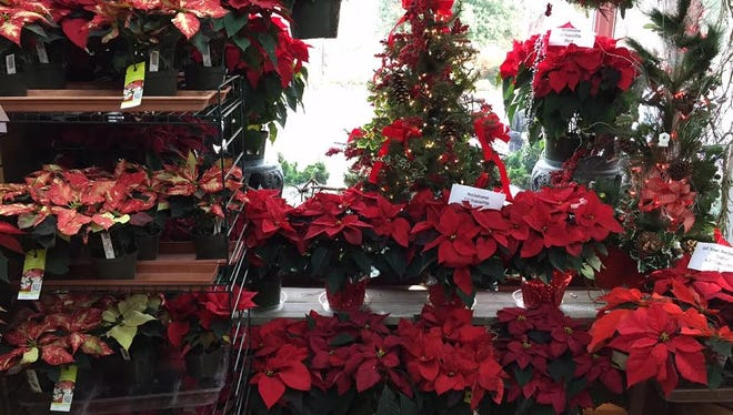 Poinsettias can continue to beautify  your home long after the holidays.