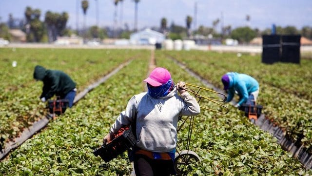 Farmworkers harvest strawberries in Ventura County.