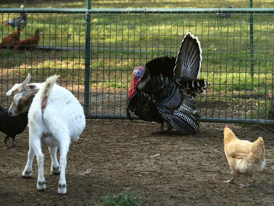 In a Nov. 20, 2017 photo, a goat, two chickens and a turkey roam at Cozy Critters Farm near Sour Lake, Texas. Rural animals continue to face issues of parasites, bacteria and trauma from Tropical Harvey.