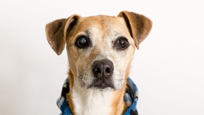 Meet Missy — she's no ol' bag but rather like a bottle of fine wine — she just gets better with age! This energetic and loving gal is ready to meet you at Nevada Humane Society, located at 2825 Longley Lane in Reno.