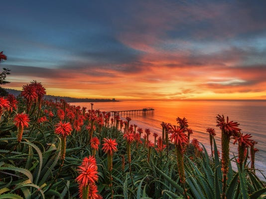 MAIN CP La Jolla Aloe Blooms at Sunset_by_JohnBahu, sdscenics@aol.com (2)