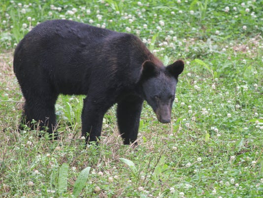 LA Black Bear - LDWF Giffin image - 9710298513_5aa0fd5e1c_o.jpg