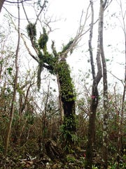 Still standing: The only known mature Serianthes nelsonii, or håyun lågu, tree on Guam is damaged but stills stands after Typhoon Dolphin tore through the Marianas.