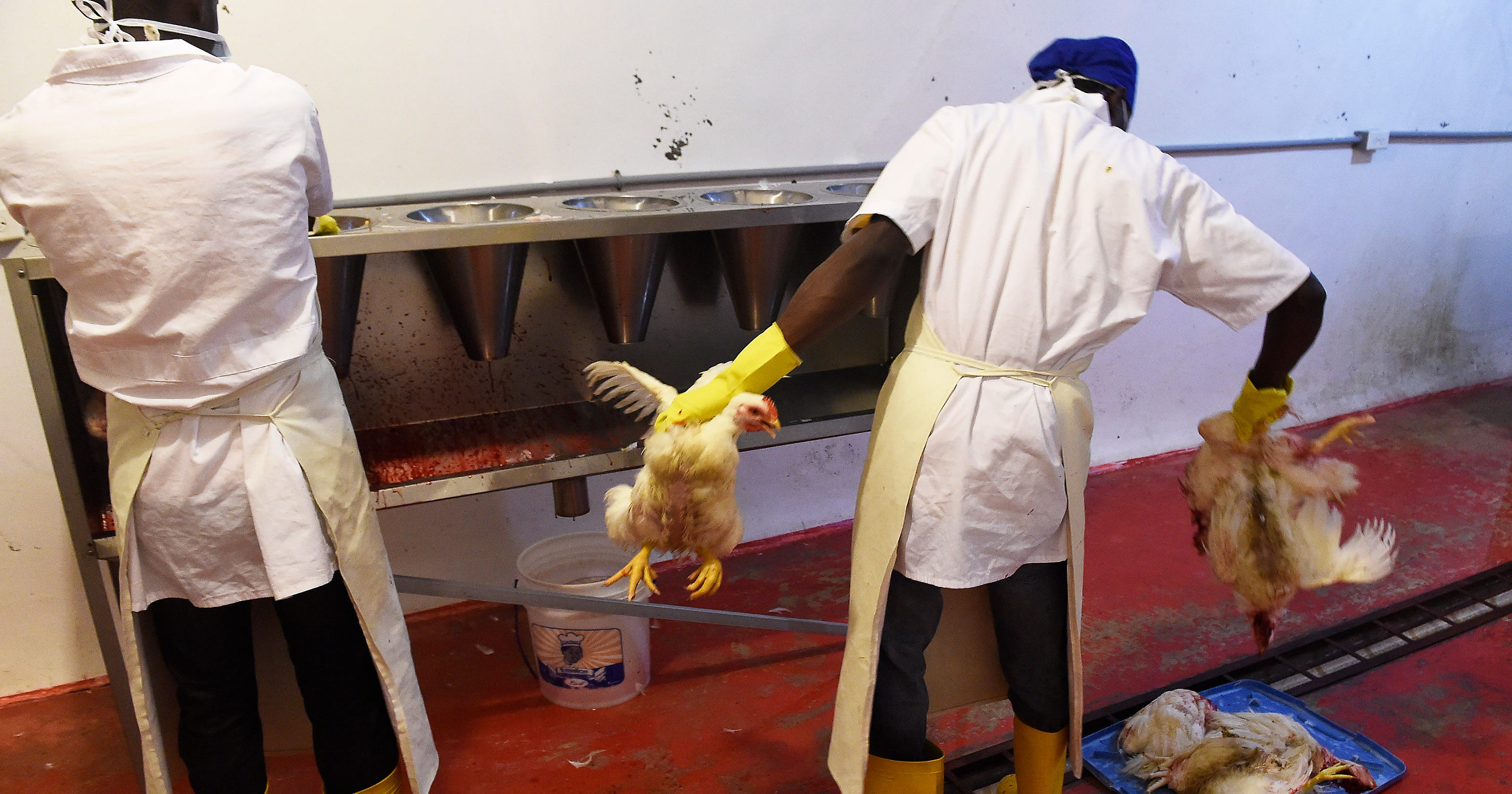 Chicken farming brightens future for Haitians