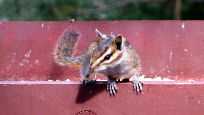 Trying to decide which feeder to head for at a home in Ruidoso, this chipmunk is the definition of cute.