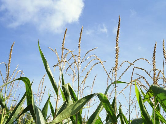 cornfield-presto