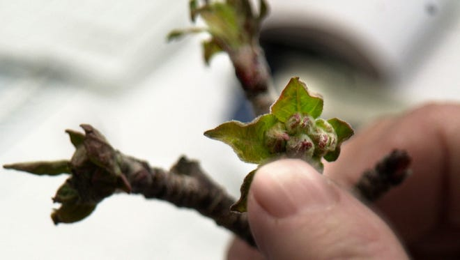 Some trees have already started blooming, and that can make them susceptible to a killing frost. Most apple trees in Henderson County have not started blooming yet, and if it gets cold again soon, they should be OK. In this file photo, the impact of freezing temperatures is visible on the buds of this apple branch.