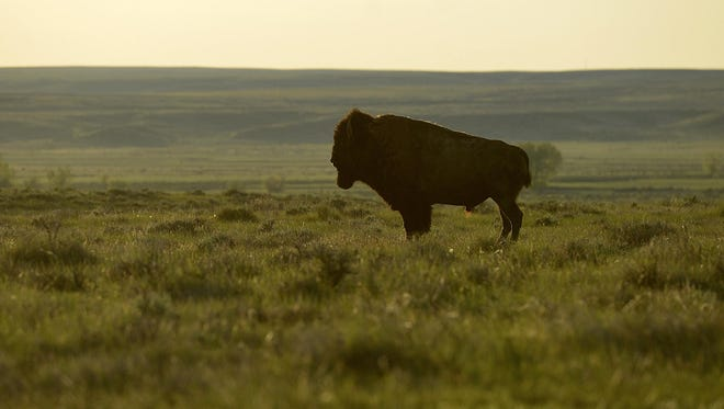 A bison on the American Prairie Reserve in northeastern Montana, where genetically pure bison have been reintroduced. The Blackfeet Tribe wants to reintroduce bison into the Badger-Two Medicine area.