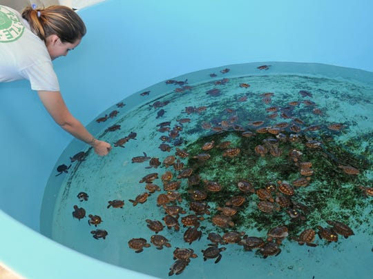 Volunteer Stephanie Brooks feeds some of the turtles.