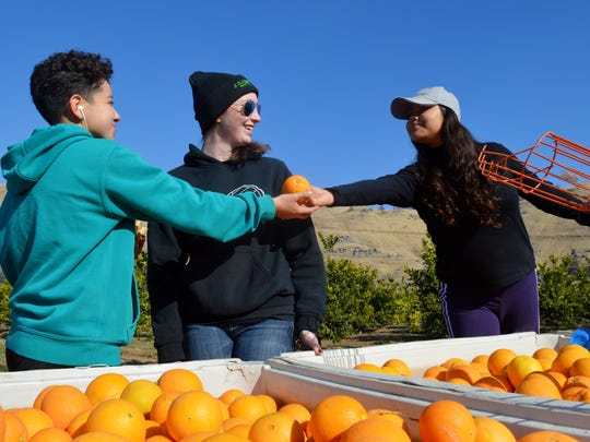 Students in the Harvesting Hope program volunteered their first day of winter break to pick oranges for hungry families in the community.
