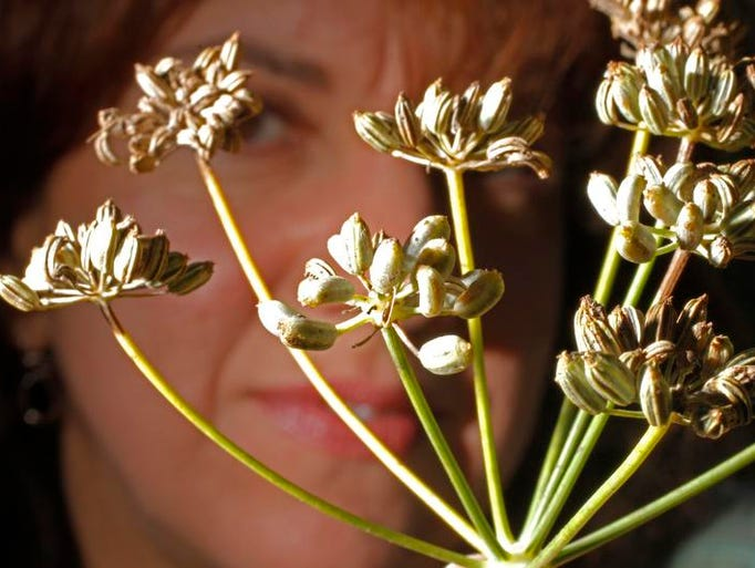 Jennifer Hausler of Nyack, a member of the Nyack Community Garden near a fennel plant filled with seeds ready to be picked on Sept. 8, 2013.