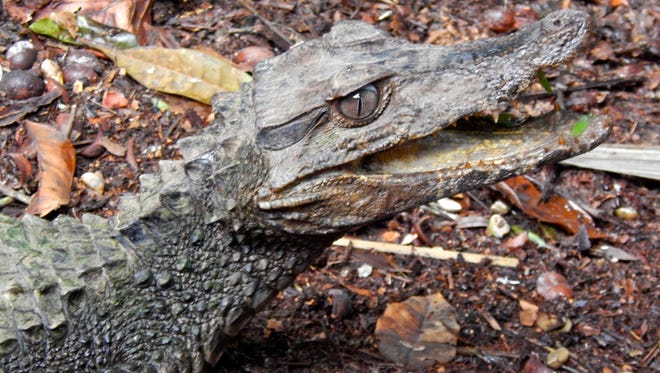 Animals including this dwarf caiman would not be allowed to be kept as pets in Wisconsin if a bill before the Legislature becomes law. This caiman was released from captivity in March in the Cuyabeno Wildlife Reserve in the Ecuadorian Amazon after authorities in that country seized it.