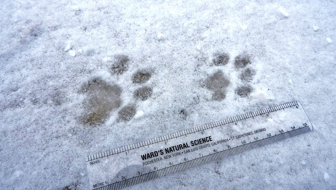 The rounded, clawless toes and off-center arrangement of bobcat tracks make them distinctive. Bobcats are out and active, searching for mates, during February and March.