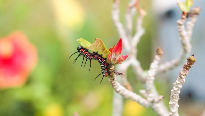 Tim Santos shares a photo of a caterpillar he shot on March 27 at the Latte Plantation in Mangliao.