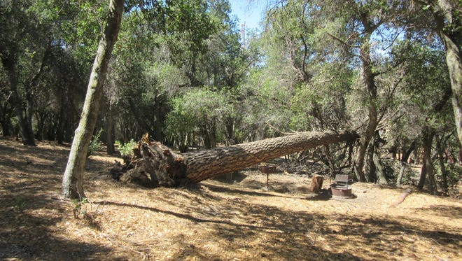 Dead trees, a product of the drought, are a huge issue in areas like the Los Padres National Forest where fires have already burned 75,000 acres already this year.