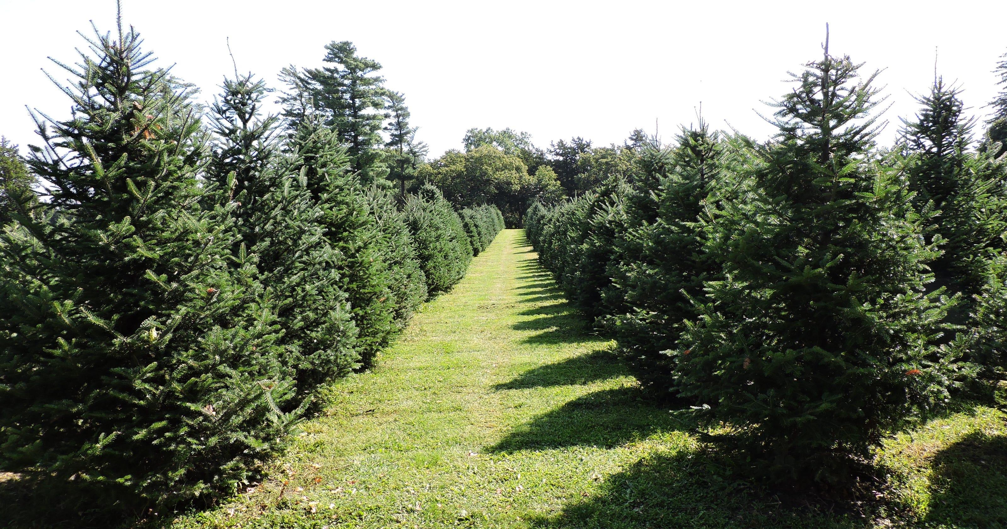 10 Of Iowa's Best Christmas Tree Farms