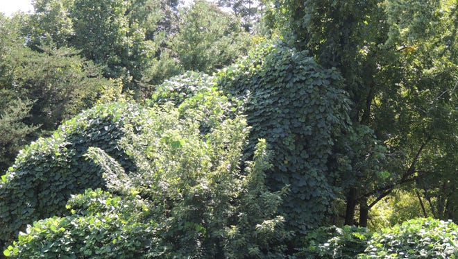 Known for its prolific growth, kudzu has become a pest plant throughout the Southeast.