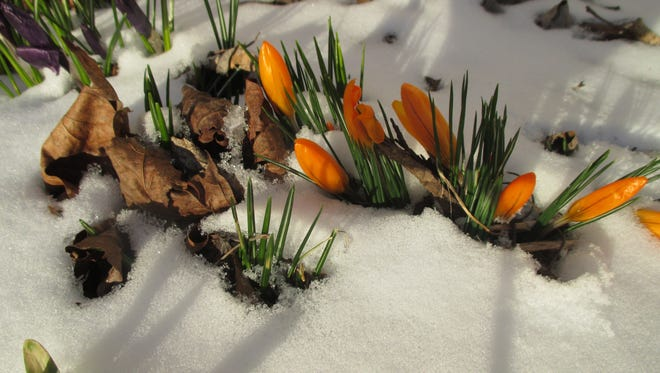 Crocus making an appearance in the snow.